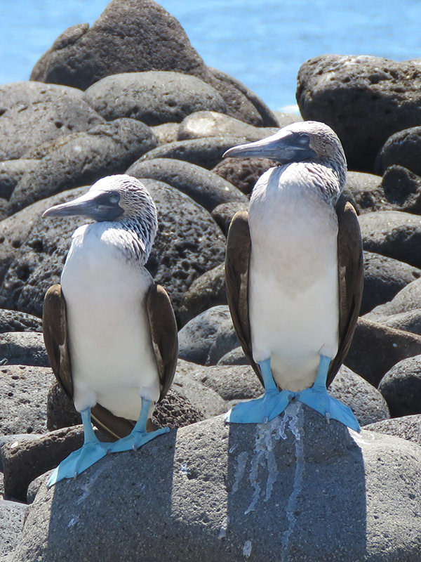 Blue Footed Boobies on Vacation with Wanderlust Travel Consultants